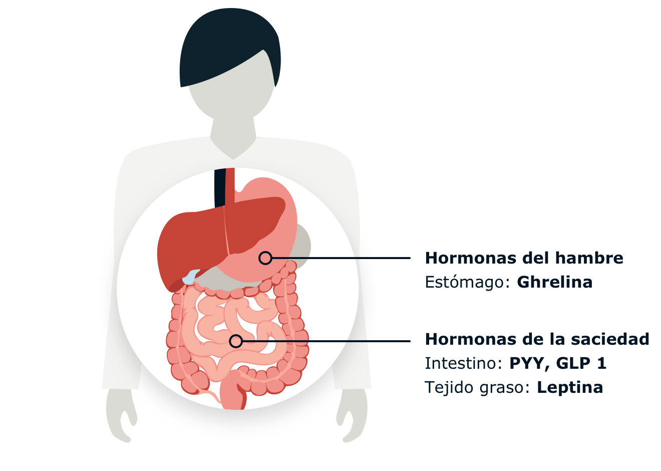 Infographic displaying the location of hunger and satiety hormones.